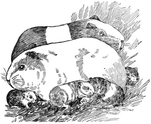 This is an image of Insane Coloring Pages Of Guinea Pigs Homes